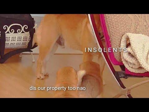 I am very pupset - Shiro / Shiba Inu puppies (with captions)