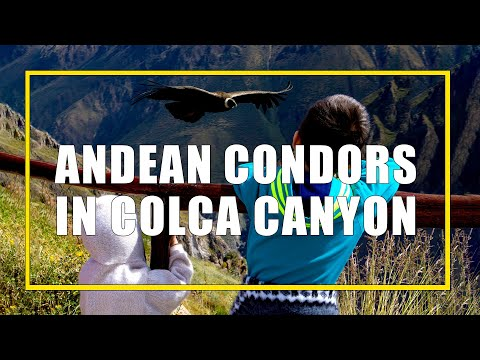 Seeing the Andean Condors in Colca Canyon, Peru