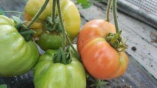 Pomidory w tunelu zapalają się, ogórki giganty się powiększają | Uprawa 2017