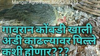 #NATURAL  #EGG #HATCHING WITH DESHI HEN   गावरान कोंबडी खाली अंडी काढल्यावर पिल्ले कशी होणार???