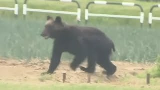 video: Watch: Marauding bear rampages through Japanese city before being shot