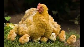 видео Что сделать чтобы курица не садилась на яйца