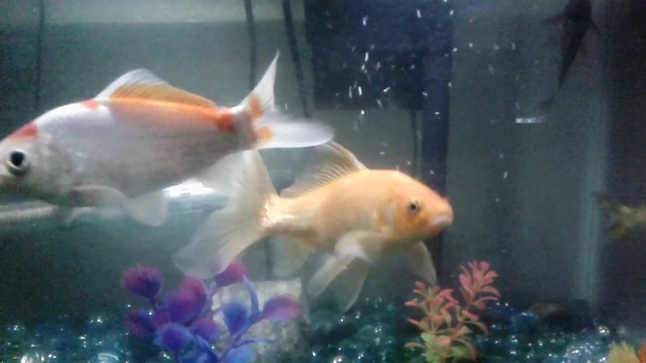 Goldfish carpa koi youtube for Carpas koi cuidados