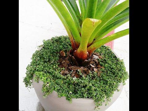 Plantas f ceis de cuidar 9 dinheiro em penca youtube for Como cuidar las plantas ornamentales