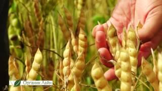 Выращивание Люпина белого. Система биозащиты и питания