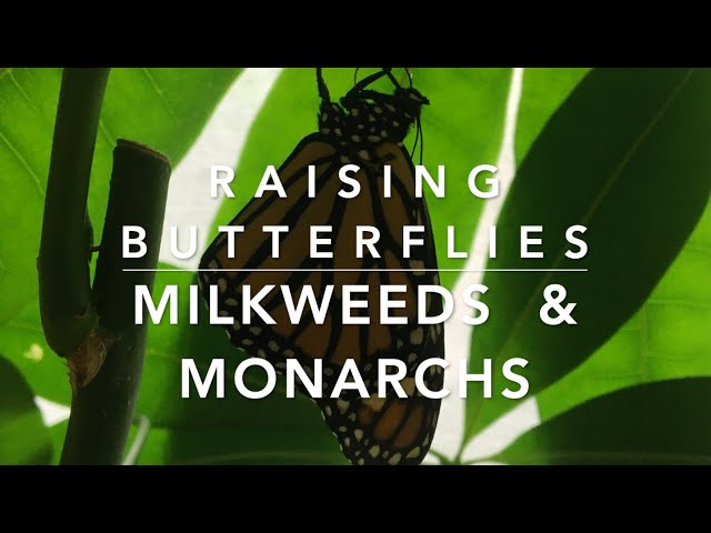 Butterflies are free - raising butterflies in Florida, Monarch butterflies & Milkweeds