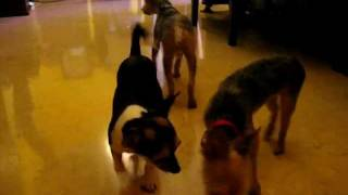 Chihuahua Small Dog Boarding (singapore Dog Hotel) Call 8186 5999.avi