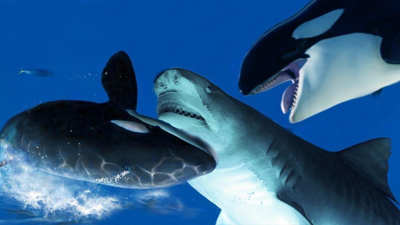 Картинки касатки против акулы