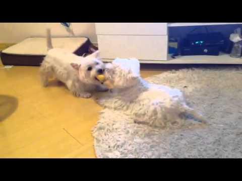West Highland White Terrier brincando