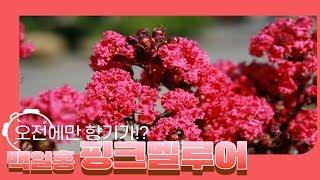 향기나는 핑크백일홍, 핑크벨루어묘목 입고!만개시 가지가…