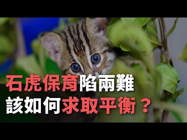石虎保育漸有成卻陷兩難 該如何求取平衡?│楊仁翔×陳林幸虹《專題採訪》