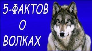 5 интересных фактов о волках,о которых вы не знали