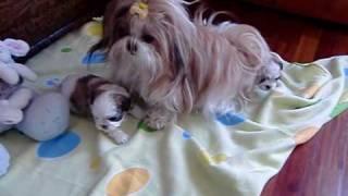 Belinha (shih-tzu) a brincar com os bebes