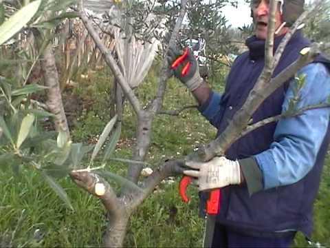 lezioni di giardinaggiolez25parte primaulivo potatura e