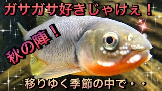 【アクアリウム】ガサガサ好きじゃけぇ!秋の陣!移りゆく季節の中で・・【ガサガサ】 thumbnail