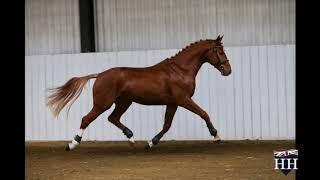 Gambar cover Chacoon Blue x Mr Blue x Balou Du Rouet Stallion Born 2017