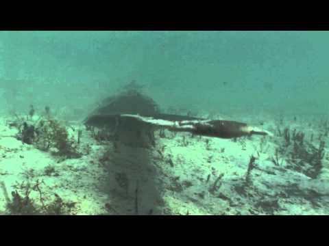 Smalltooth Sawfish Giant  - Andros, Bahamas