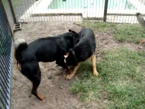 Dog Behaviour - Adult Dogs Socializing