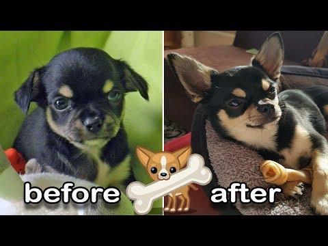 PUPPY to ADULT | CHIHUAHUA before & after GROWING UP | vom Welpen zum erwachsenen Hund