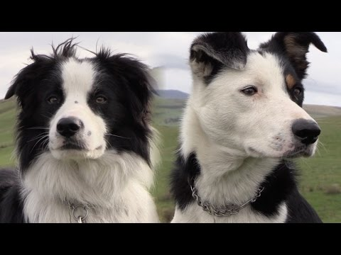 Practical Shepherding - A Systematic Guide to Sheepdog Training