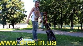 Послушная собака = внимательная собака - внимание основа дрессировки