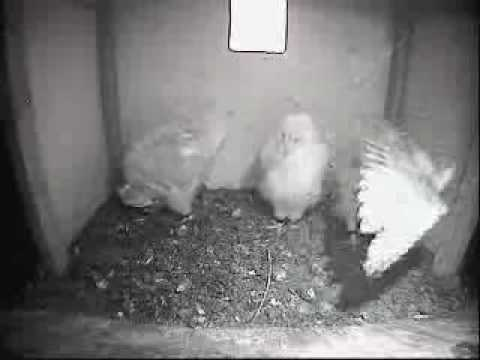 Barn Owl Trust Live Webcam Barn Owlets Do A Little Bit Of