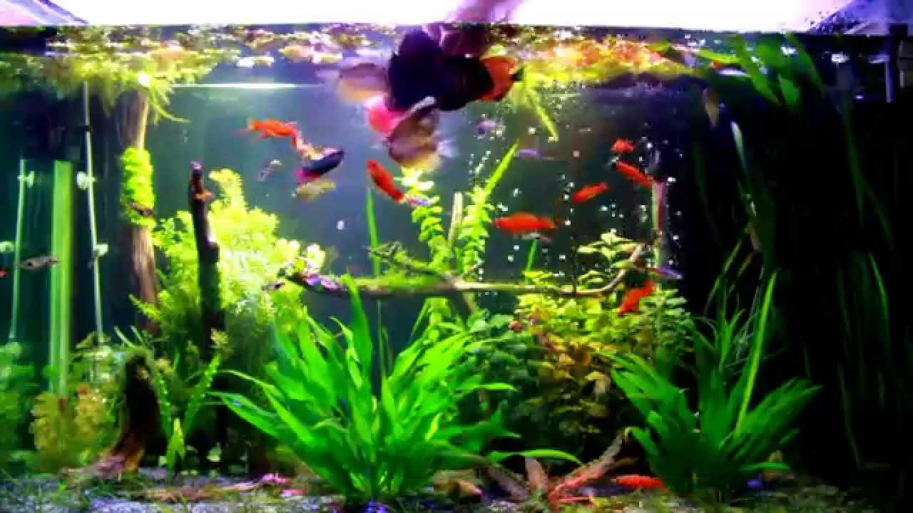 Fish for aquarium freshwater - Fish For Aquarium Freshwater