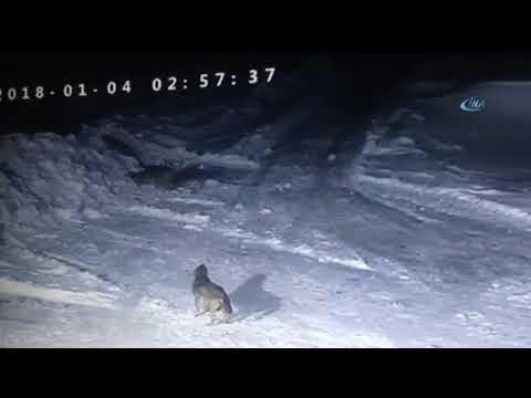 Aç kurtlar kangal köpeğini parçaladı