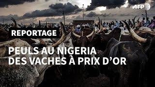 Peuls au Nigeria: des vaches à prix d\'or  2/5   AFP Reportage