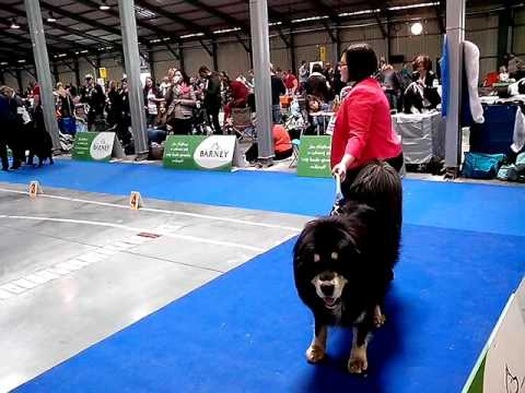 Prague Expo Dog Show 1.5.2016 - Tibetan Mastiffs - males - champion class