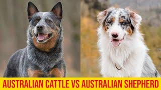 Blue Heeler (Australian Cattle Dog) vs  Australian Shepherd; Differences