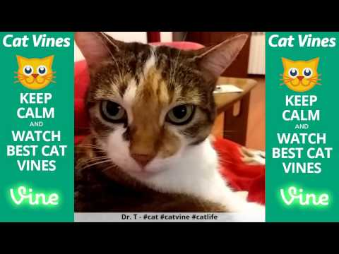 Funniest Cat Vines #120 - Updated September 16th, 2015