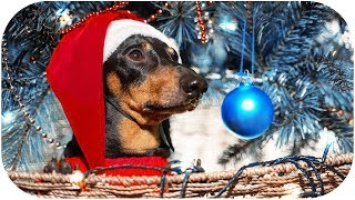 It's time for a Christmas tree! Cute & funny dachshund dog video!
