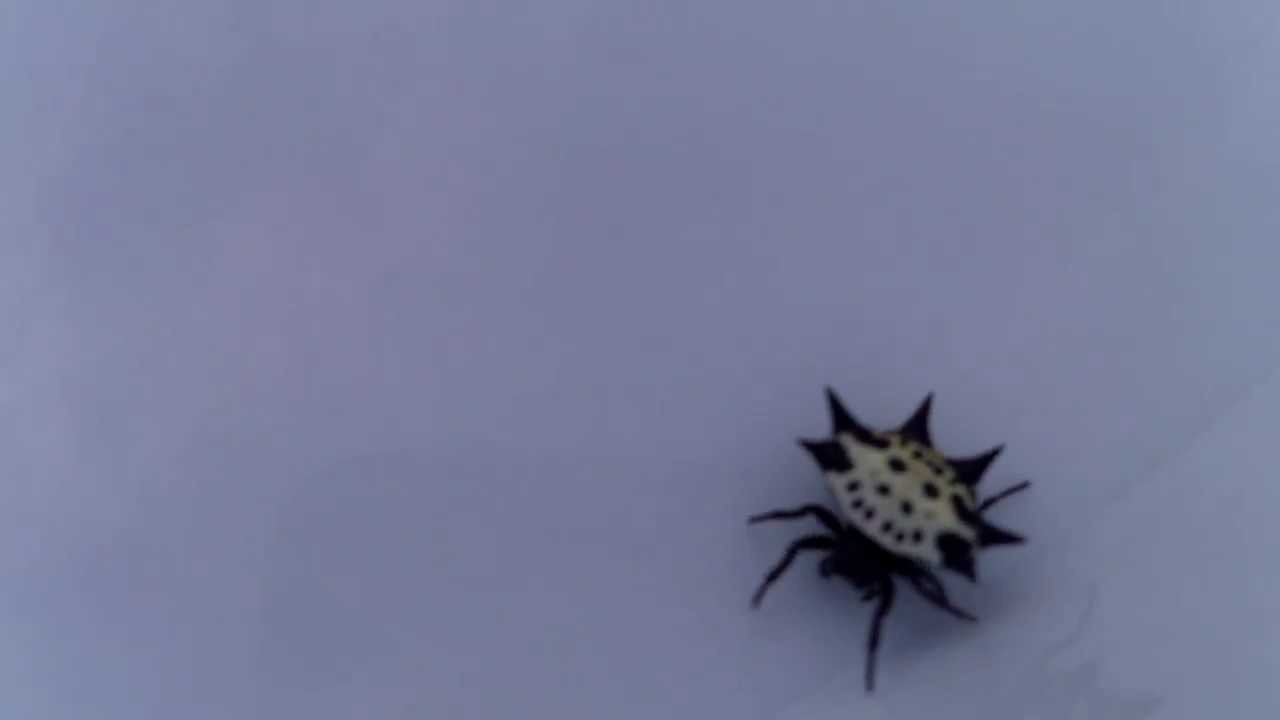 smiley face crab spider gasteracantha cancriformis youtube
