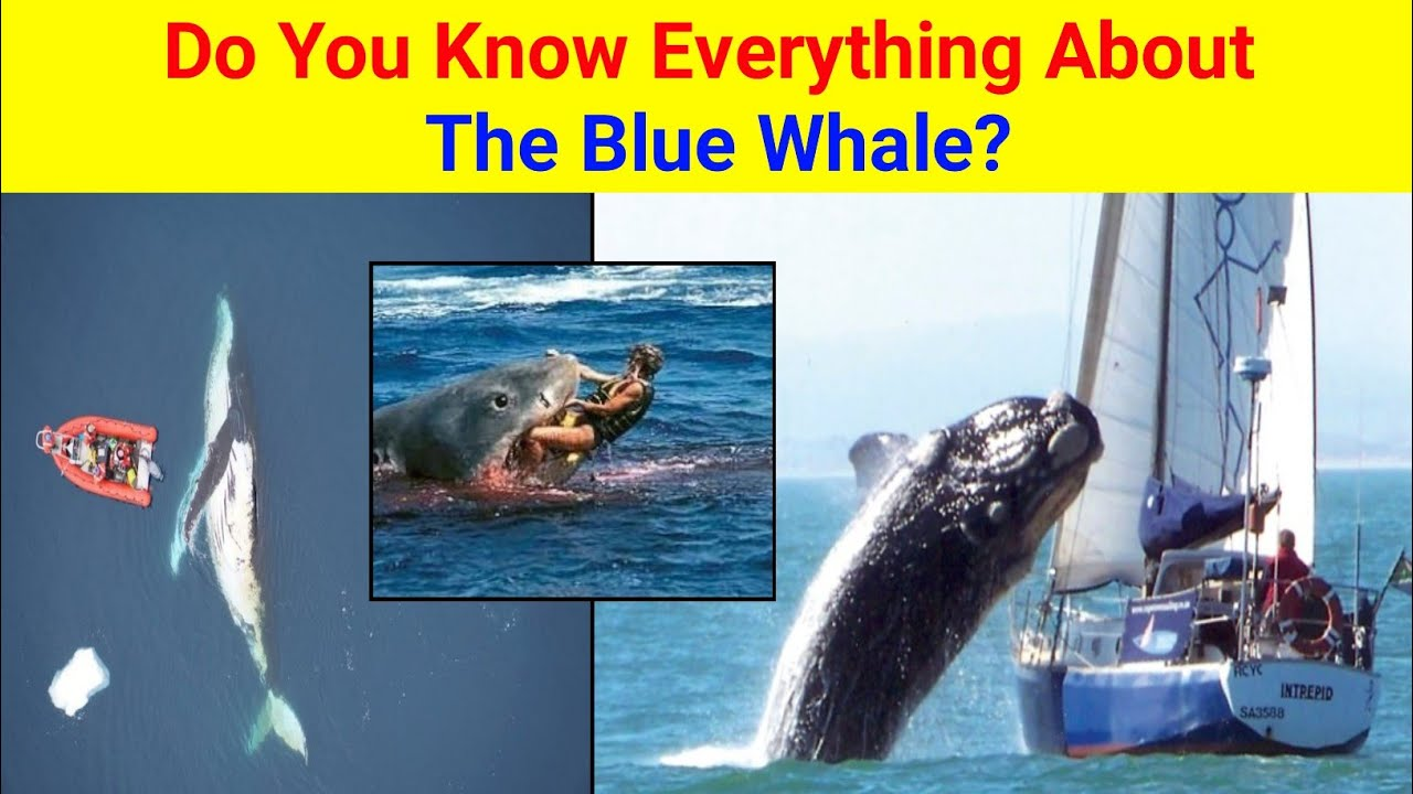 Amazing Facts About Blue Whale   ब्लू व्हेल के बारे में अनोखे तथ्य   Blue Whale   Amazing Facts
