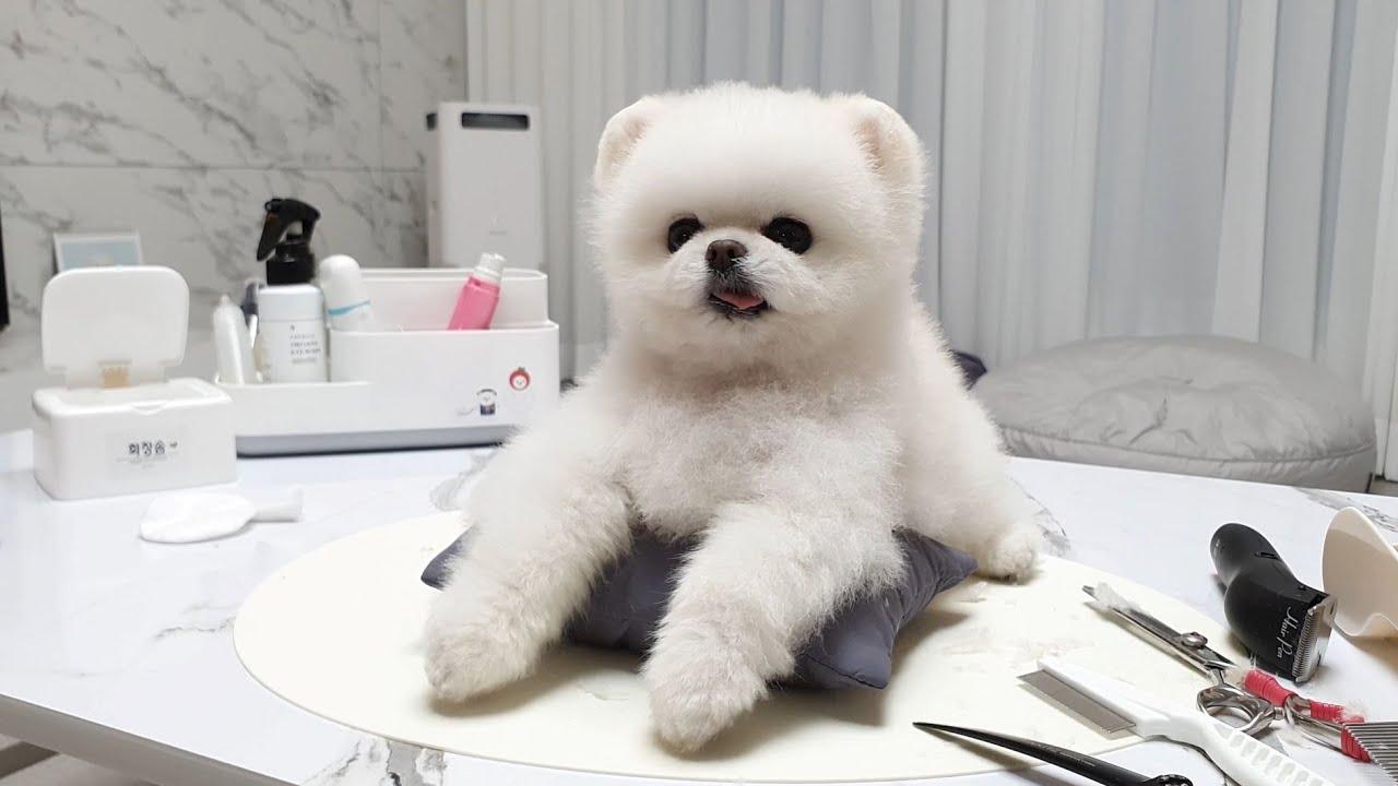 머리 자르기 싫은 강아지의 귀여운 행동