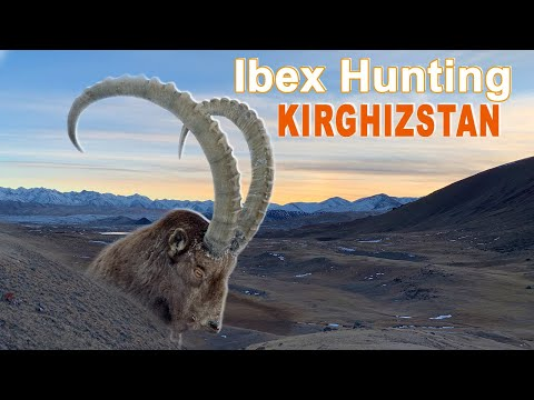 Ibex Hunting (chasse)  In Kirghizstan Naryn by Ovini Expéditions