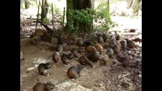 Criador Cutia - ES / Muito bem cuidadas. 14-04-2012. thumbnail