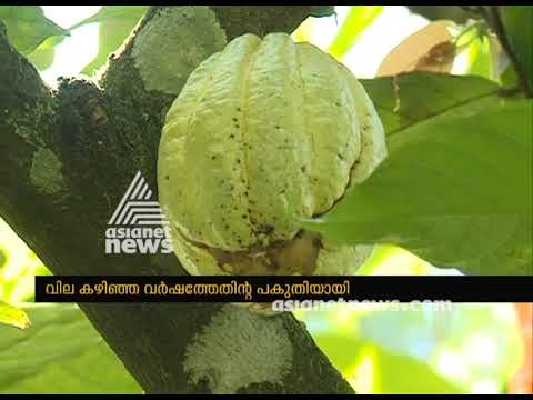 Price down : Cocoa bean farmers in crisis