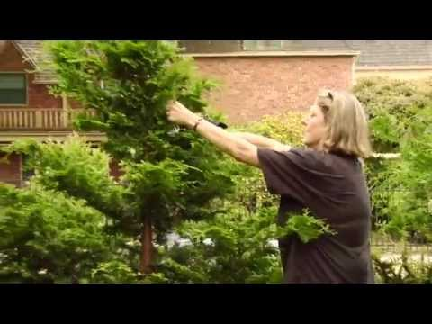 How To Prune a Hinoki Cypress  Video Tutorials with Plant Amnesty