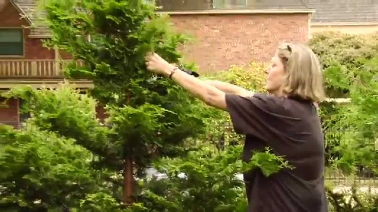 How To Prune a Hinoki Cypress - Video Tutorials with Plant ...