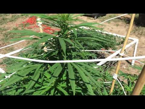 Outdoor Marijuana Grow Denver Colorado 9/6/2016