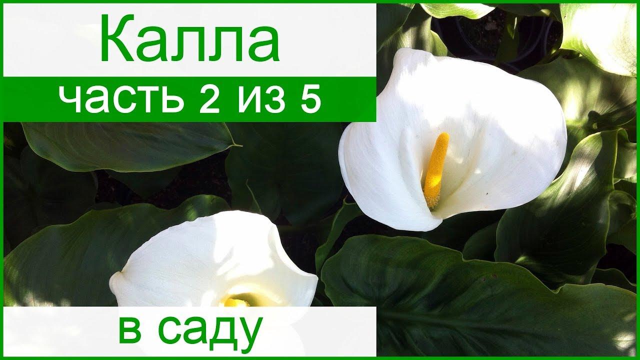 Каллы — посадка и уход в открытом грунте, выращивание в саду, видео