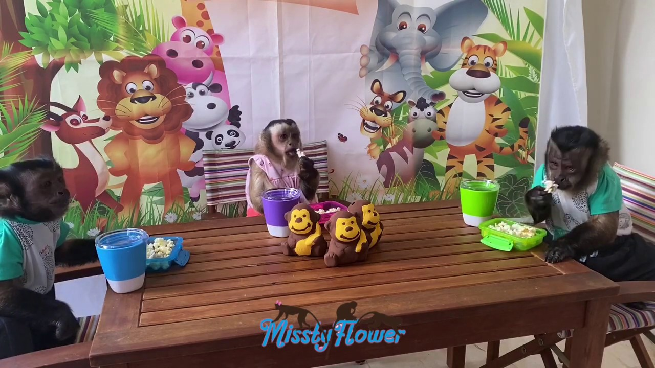Monkeys Toby, Angelika & Russel snacking on popcorn 🍿
