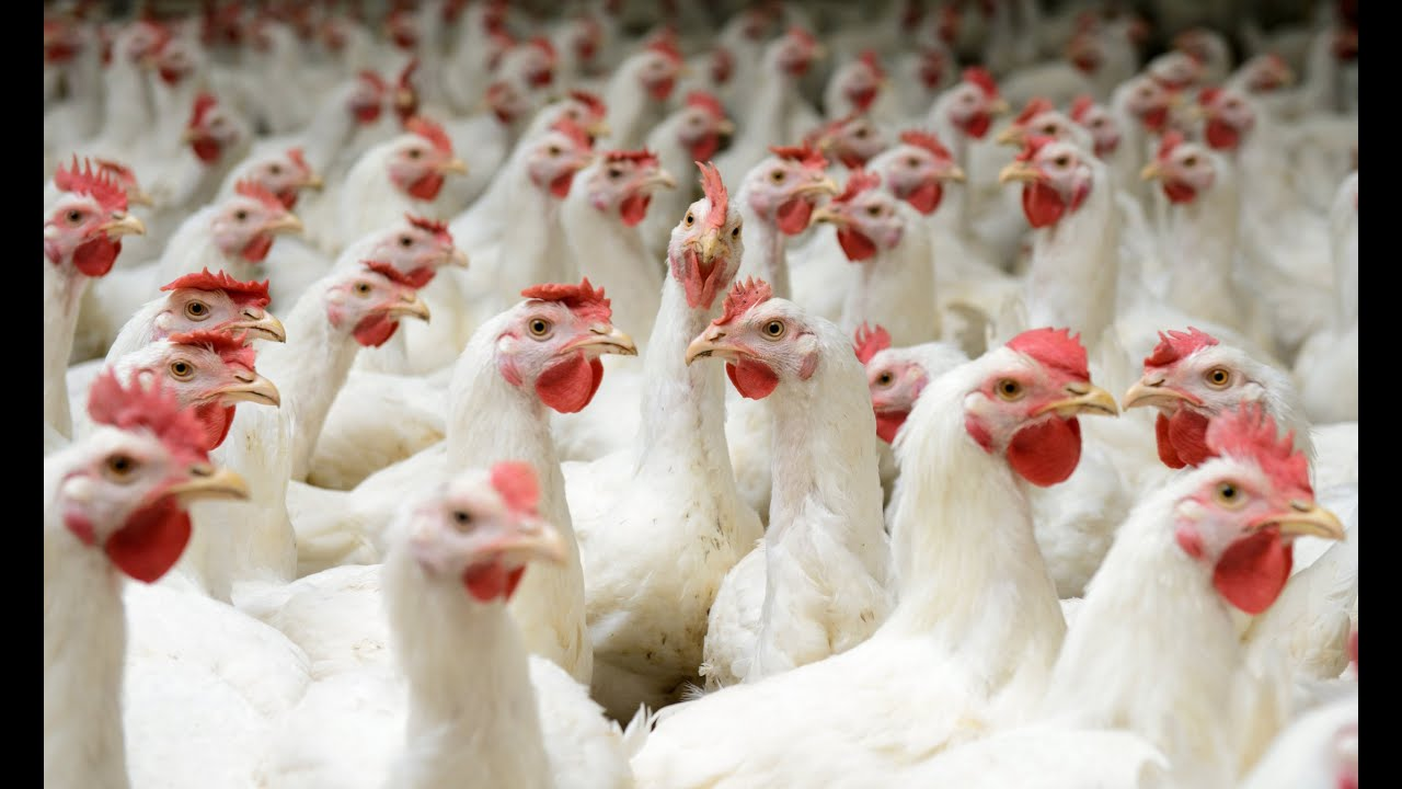 Investment Opportunities in the Zambian Poultry Sector