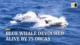 Blue whale devoured alive by 75 orcas off coast of Australia