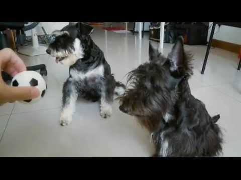Schnauzer And Scottish Terrier where is the ba...