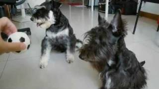Where Is The Ball - Scottish Terrier And Schnauzer Playing, Taiwanhappy.com