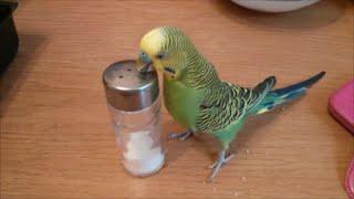 Как попугай Риччи соль любил