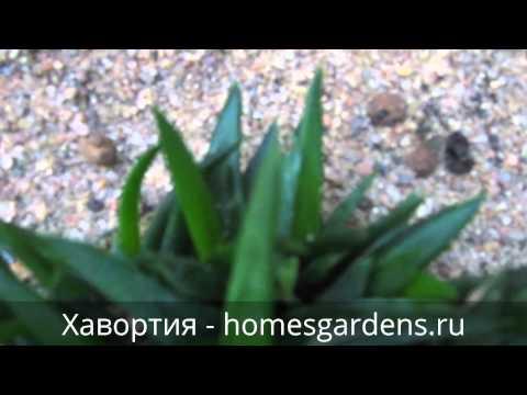 Растение, похожее на алоэ - хавортия